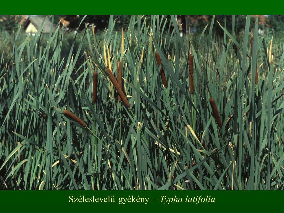 Széleslevelű gyékény – Typha latifolia