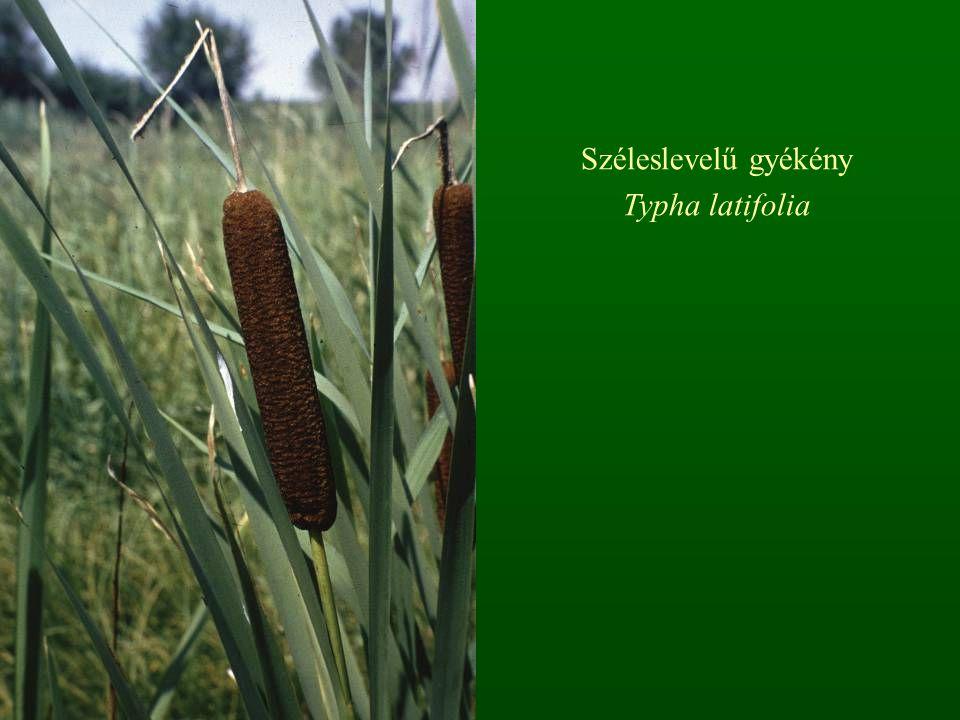 Széleslevelű gyékény Typha latifolia