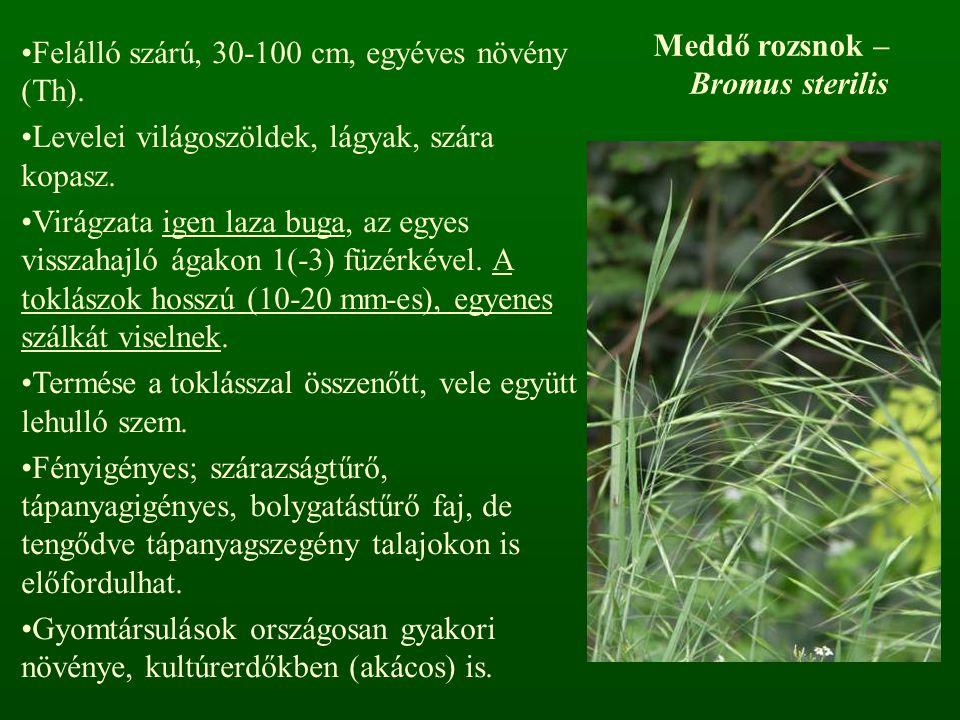 Meddő rozsnok – Bromus sterilis Felálló szárú, 30-100 cm, egyéves növény (Th). Levelei világoszöldek, lágyak, szára kopasz. Virágzata igen laza buga,