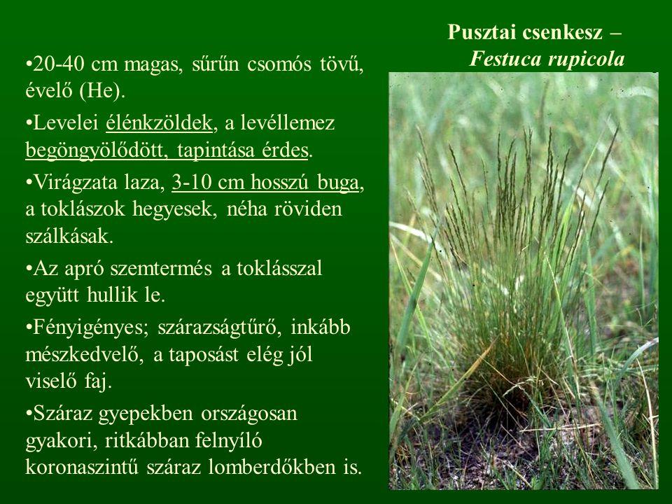 Pusztai csenkesz – Festuca rupicola 20-40 cm magas, sűrűn csomós tövű, évelő (He). Levelei élénkzöldek, a levéllemez begöngyölődött, tapintása érdes.