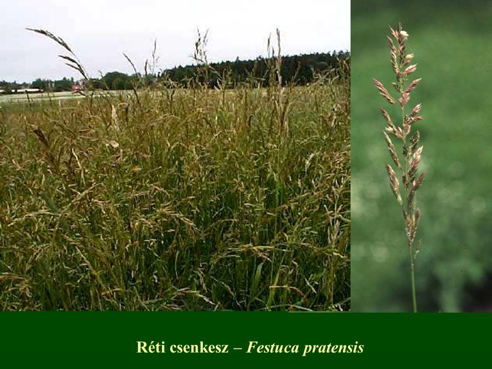 Réti csenkesz – Festuca pratensis