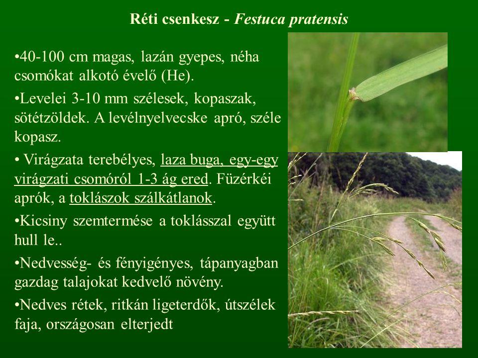 Réti csenkesz - Festuca pratensis 40-100 cm magas, lazán gyepes, néha csomókat alkotó évelő (He). Levelei 3-10 mm szélesek, kopaszak, sötétzöldek. A l