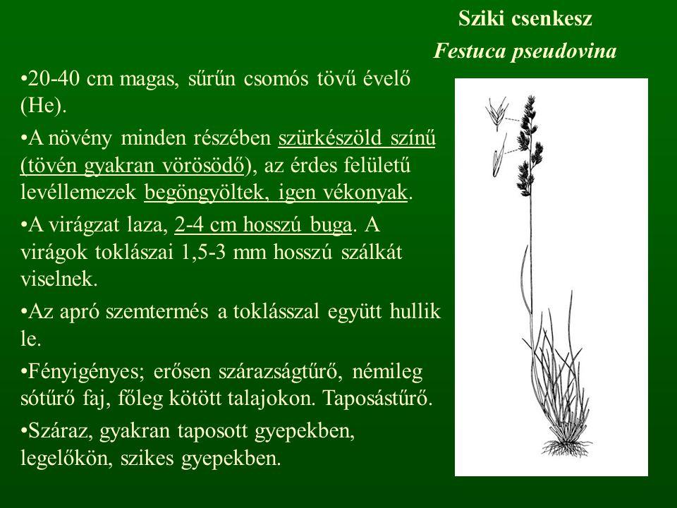 Sziki csenkesz Festuca pseudovina 20-40 cm magas, sűrűn csomós tövű évelő (He). A növény minden részében szürkészöld színű (tövén gyakran vörösödő), a