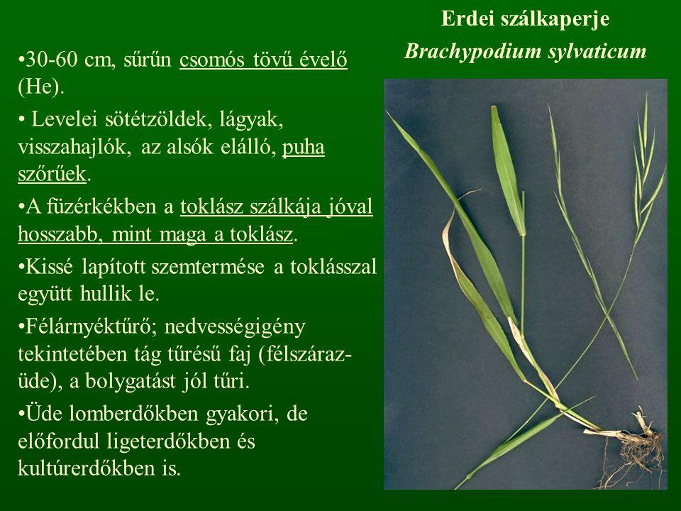 Erdei szálkaperje Brachypodium sylvaticum 30-60 cm, sűrűn csomós tövű évelő (He). Levelei sötétzöldek, lágyak, visszahajlók, az alsók elálló, puha sző