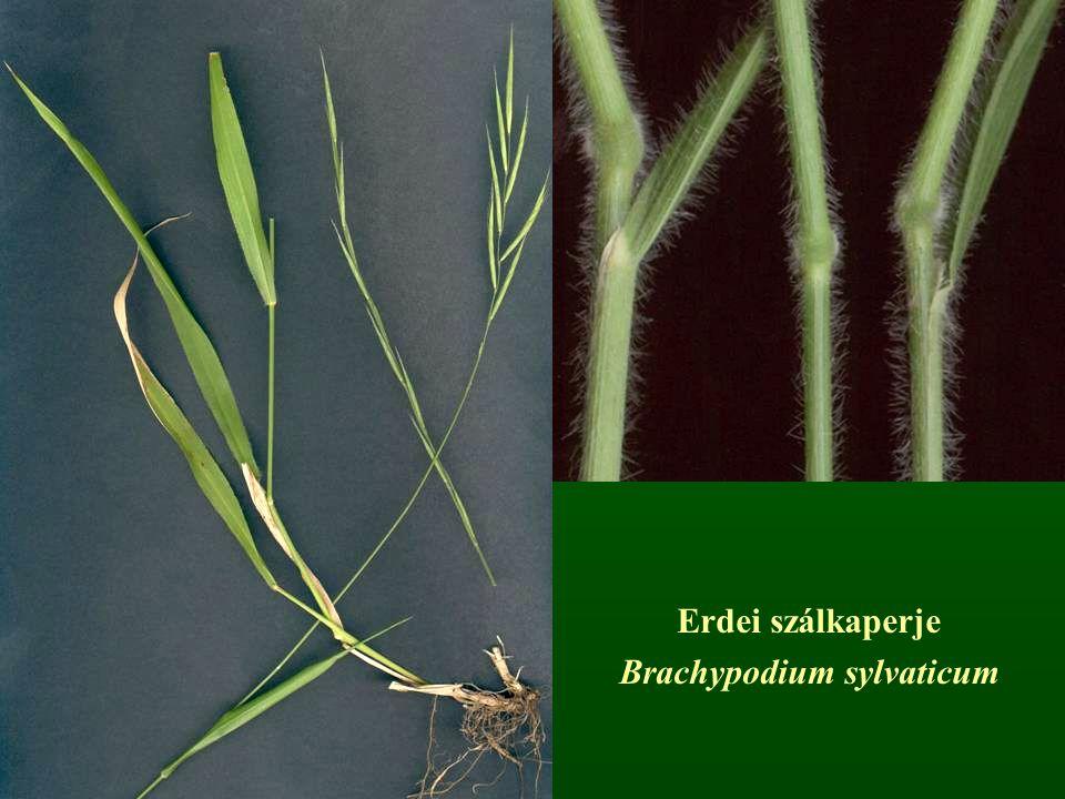 Erdei szálkaperje Brachypodium sylvaticum