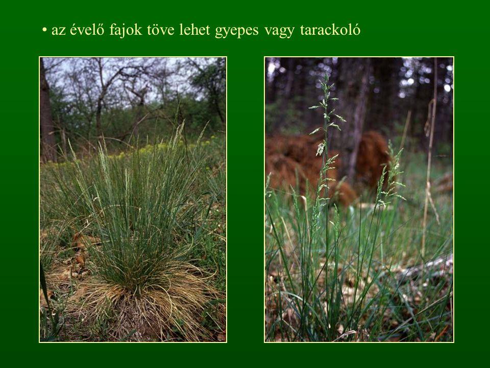 T4T4 Echinochloa crus-galli – közönséges kakaslábfű 30-120 cm, erőteljes egyéves (Th) Levelei 0,5-1,5 cm szélesek A virágzat éréskor vöröses, 5-20 cm hosszú buga, tömött részvirágzatokkal, amelyek a virágzat csúcsa felé kisebbednek.