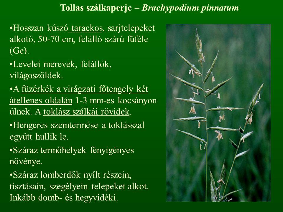 Tollas szálkaperje – Brachypodium pinnatum Hosszan kúszó tarackos, sarjtelepeket alkotó, 50-70 cm, felálló szárú fűféle (Ge). Levelei merevek, felálló