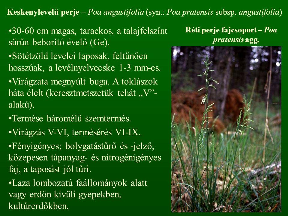 Réti perje fajcsoport – Poa pratensis agg. Keskenylevelű perje – Poa angustifolia (syn.: Poa pratensis subsp. angustifolia) 30-60 cm magas, tarackos,