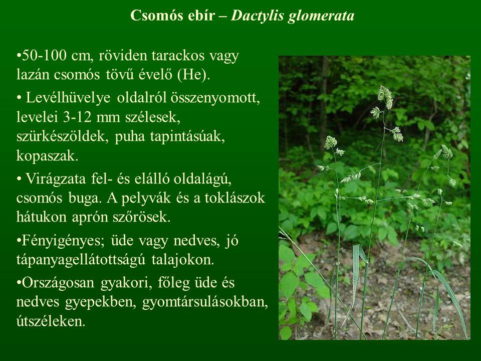 Csomós ebír – Dactylis glomerata 50-100 cm, röviden tarackos vagy lazán csomós tövű évelő (He). Levélhüvelye oldalról összenyomott, levelei 3-12 mm sz
