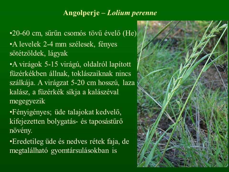 Angolperje – Lolium perenne 20-60 cm, sűrűn csomós tövű évelő (He) A levelek 2-4 mm szélesek, fényes sötétzöldek, lágyak A virágok 5-15 virágú, oldalr