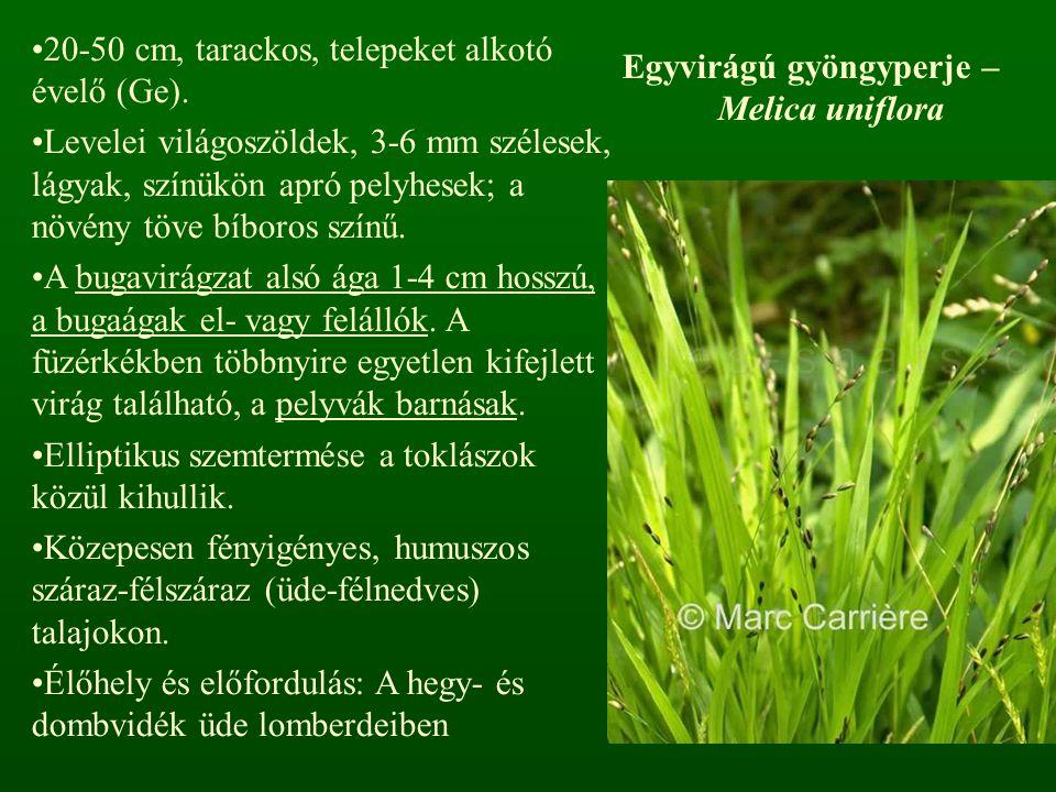 Egyvirágú gyöngyperje – Melica uniflora 20-50 cm, tarackos, telepeket alkotó évelő (Ge). Levelei világoszöldek, 3-6 mm szélesek, lágyak, színükön apró