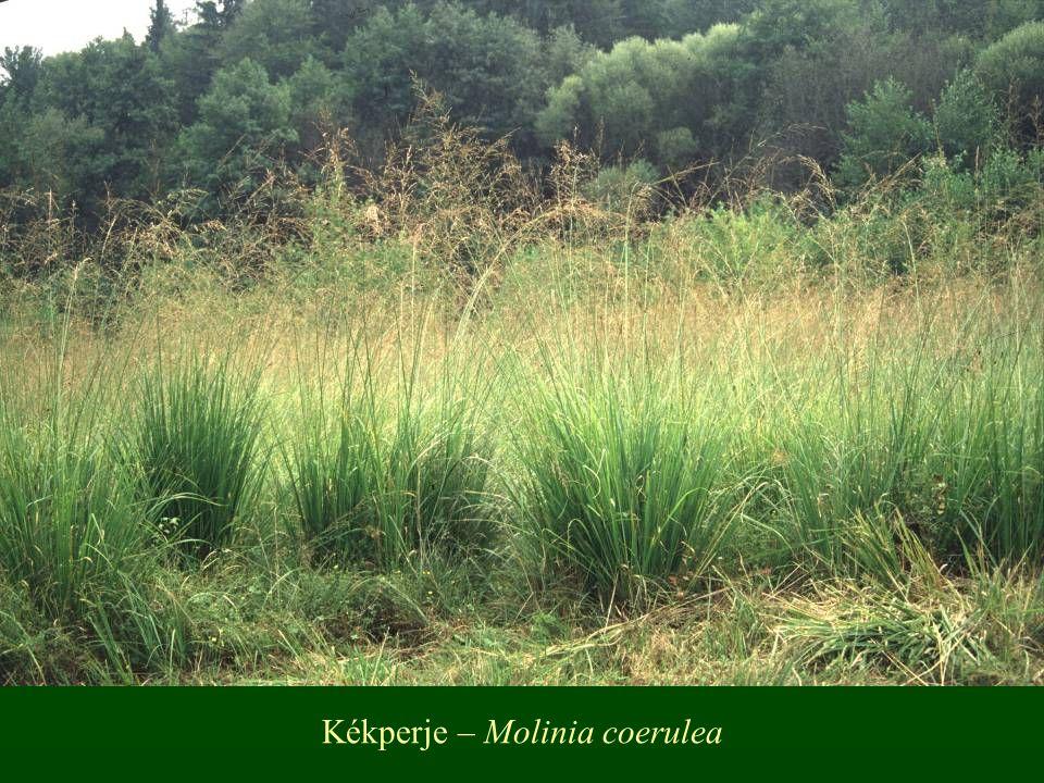 Kékperje – Molinia coerulea