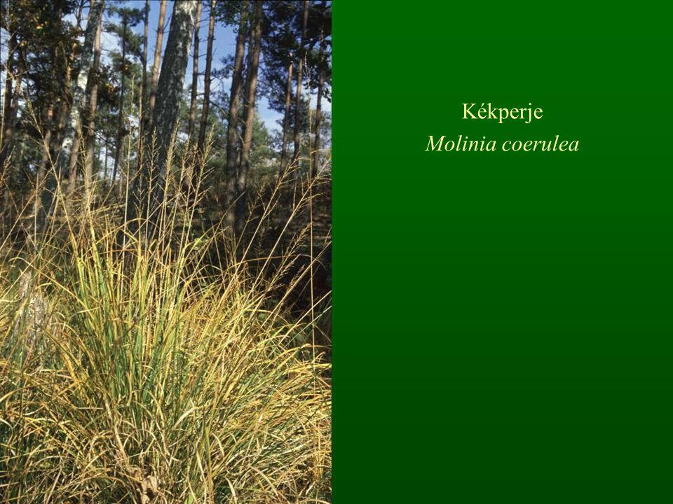 Kékperje Molinia coerulea