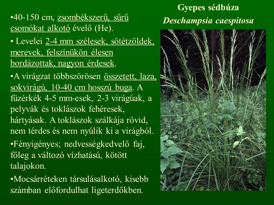 Gyepes sédbúza Deschampsia caespitosa 40-150 cm, zsombékszerű, sűrű csomókat alkotó évelő (He). Levelei 2-4 mm szélesek, sötétzöldek, merevek, felszín