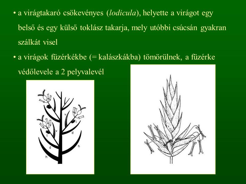 a virágtakaró csökevényes (lodicula), helyette a virágot egy belső és egy külső toklász takarja, mely utóbbi csúcsán gyakran szálkát visel a virágok f