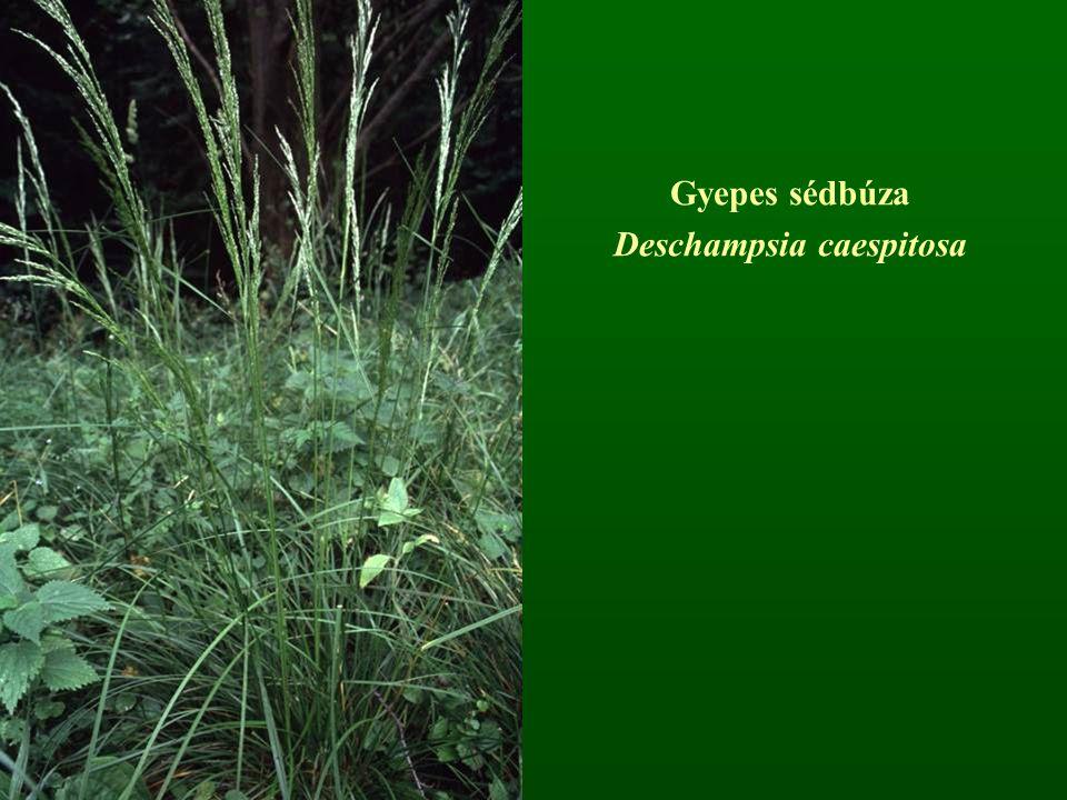 Gyepes sédbúza Deschampsia caespitosa