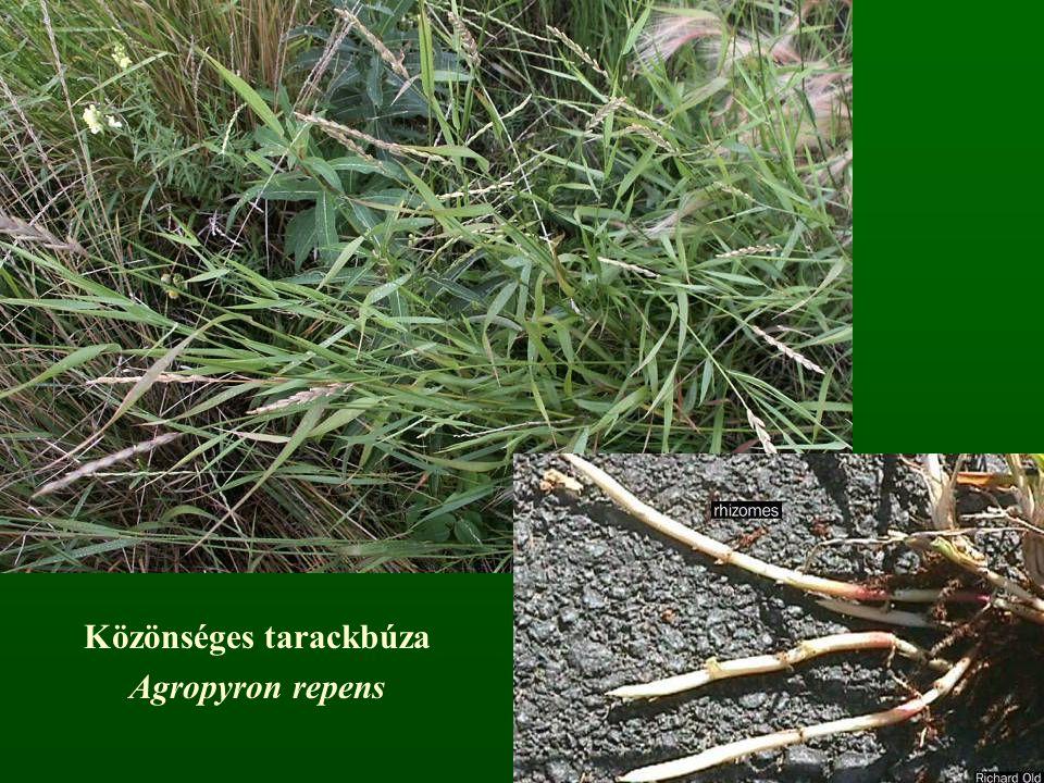 Közönséges tarackbúza Agropyron repens