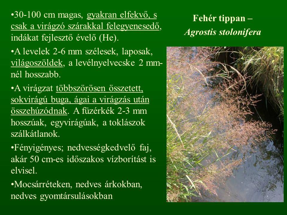 Fehér tippan – Agrostis stolonifera 30-100 cm magas, gyakran elfekvő, s csak a virágzó szárakkal felegyenesedő, indákat fejlesztő évelő (He). A levele