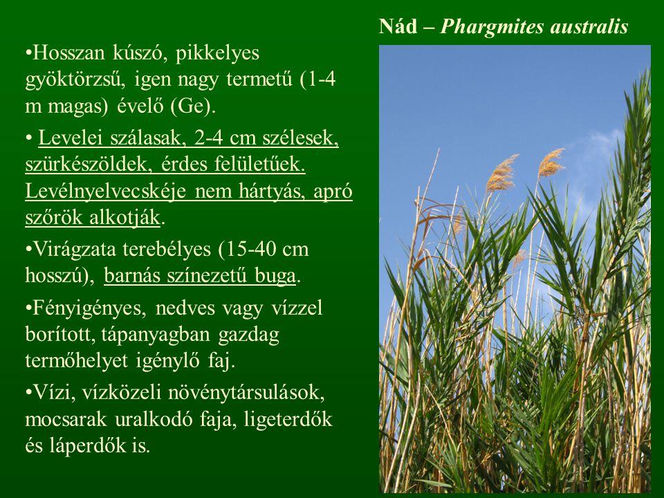 Nád – Phargmites australis Hosszan kúszó, pikkelyes gyöktörzsű, igen nagy termetű (1-4 m magas) évelő (Ge). Levelei szálasak, 2-4 cm szélesek, szürkés