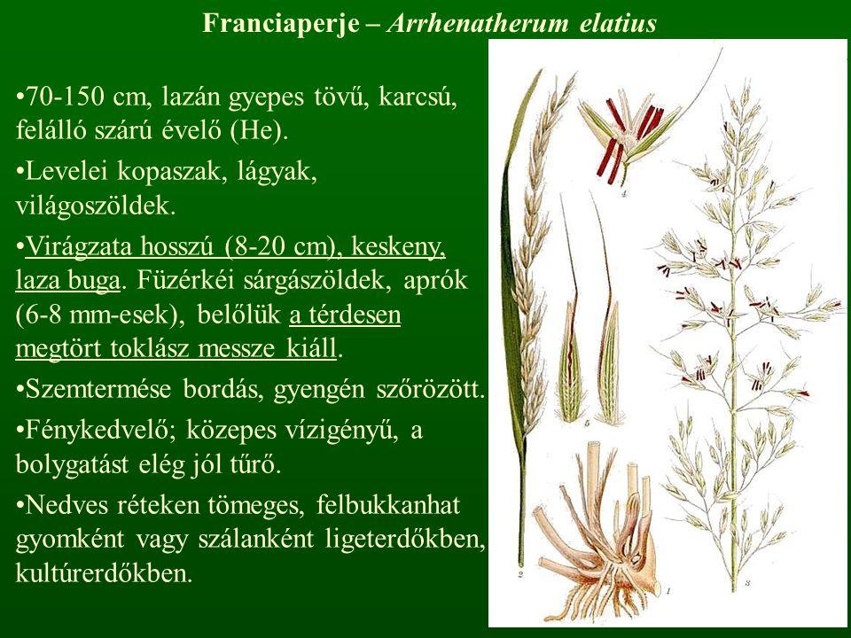 Franciaperje – Arrhenatherum elatius 70-150 cm, lazán gyepes tövű, karcsú, felálló szárú évelő (He). Levelei kopaszak, lágyak, világoszöldek. Virágzat