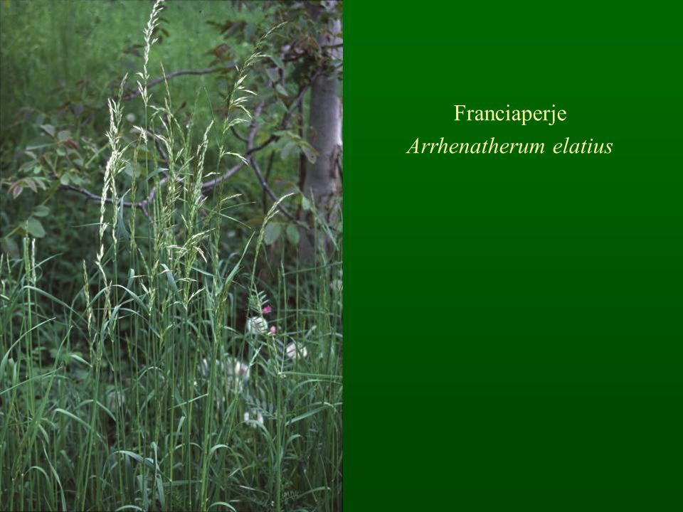 Franciaperje Arrhenatherum elatius