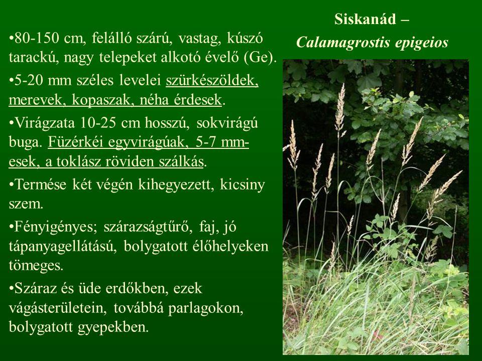 Siskanád – Calamagrostis epigeios 80-150 cm, felálló szárú, vastag, kúszó tarackú, nagy telepeket alkotó évelő (Ge). 5-20 mm széles levelei szürkészöl
