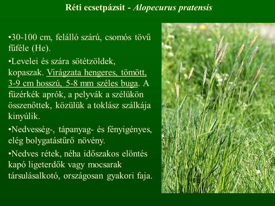 Réti ecsetpázsit - Alopecurus pratensis 30-100 cm, felálló szárú, csomós tövű fűféle (He). Levelei és szára sötétzöldek, kopaszak. Virágzata hengeres,