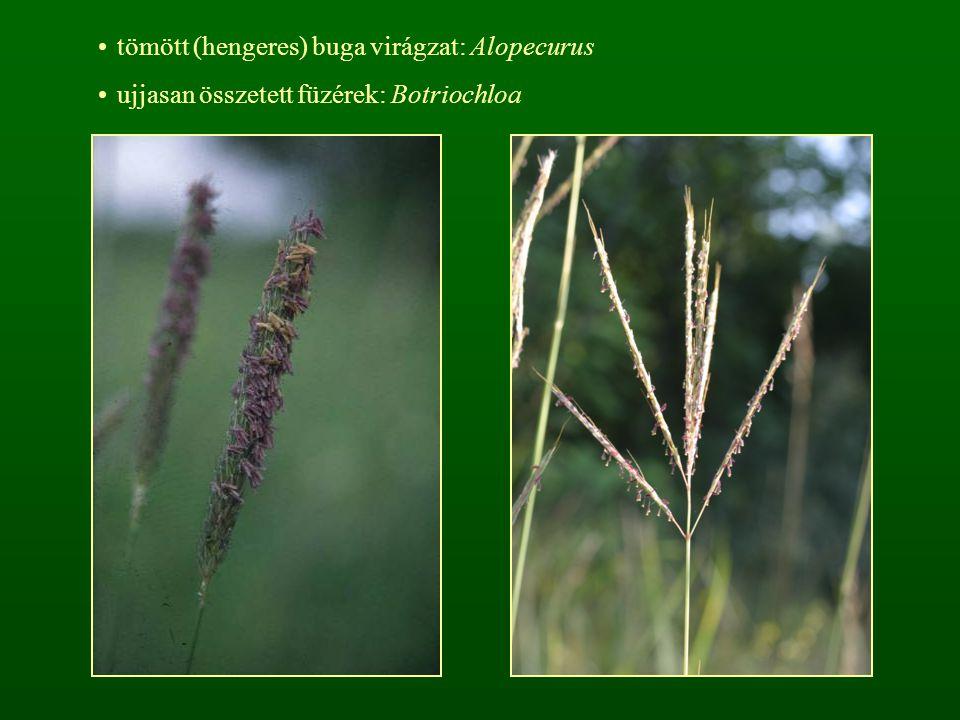 tömött (hengeres) buga virágzat: Alopecurus ujjasan összetett füzérek: Botriochloa