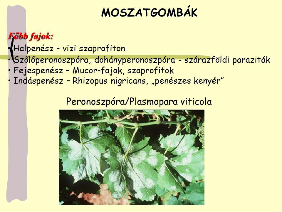 MOSZATGOMBÁK MOSZATGOMBÁK Főbb fajok: Halpenész - vizi szaprofiton Szőlőperonoszpóra, dohányperonoszpóra - szárazföldi paraziták Fejespenész – Mucor-f