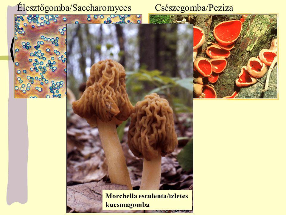 Élesztőgomba/SaccharomycesCsészegomba/Peziza Morchella esculenta/ízletes kucsmagomba