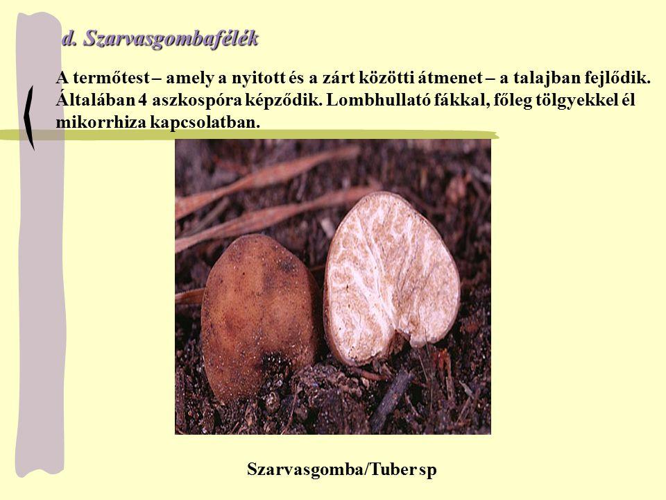 d.Szarvasgombafélék d. Szarvasgombafélék A termőtest – amely a nyitott és a zárt közötti átmenet – a talajban fejlődik. Általában 4 aszkospóra képződi