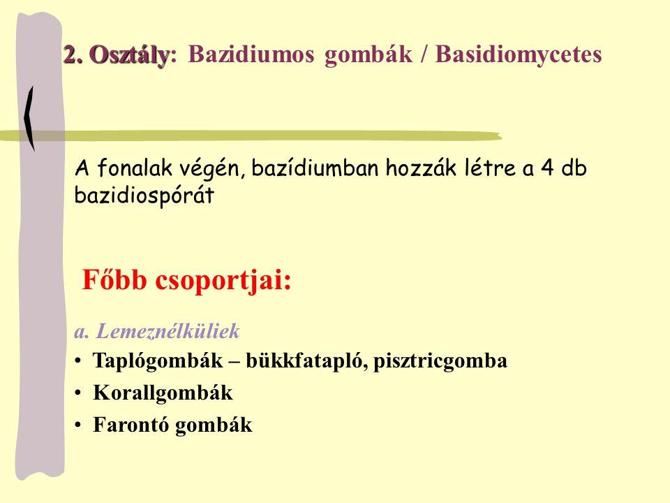 2. Osztály 2. Osztály: Bazidiumos gombák / Basidiomycetes Főbb csoportjai: a. Lemeznélküliek Taplógombák – bükkfatapló, pisztricgomba Korallgombák Far