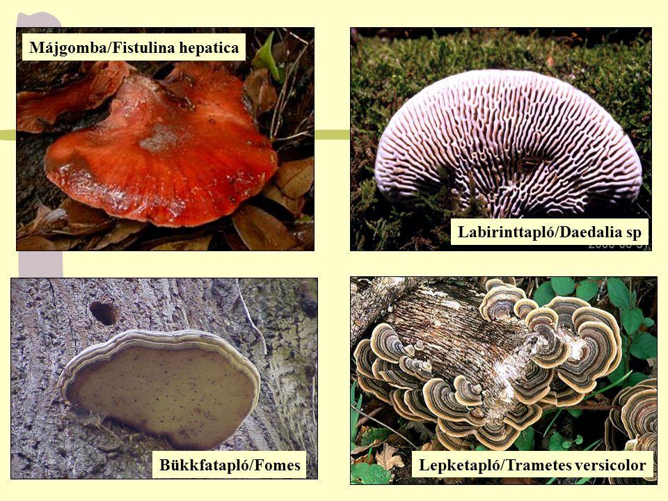 Májgomba/Fistulina hepatica Labirinttapló/Daedalia sp Bükkfatapló/Fomes Lepketapló/Trametes versicolor
