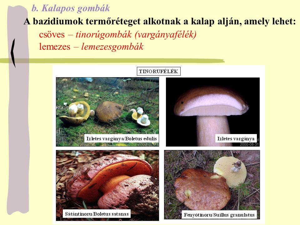 b. Kalapos gombák A bazidiumok termőréteget alkotnak a kalap alján, amely lehet: csöves – tinorúgombák (vargányafélék) lemezes – lemezesgombák