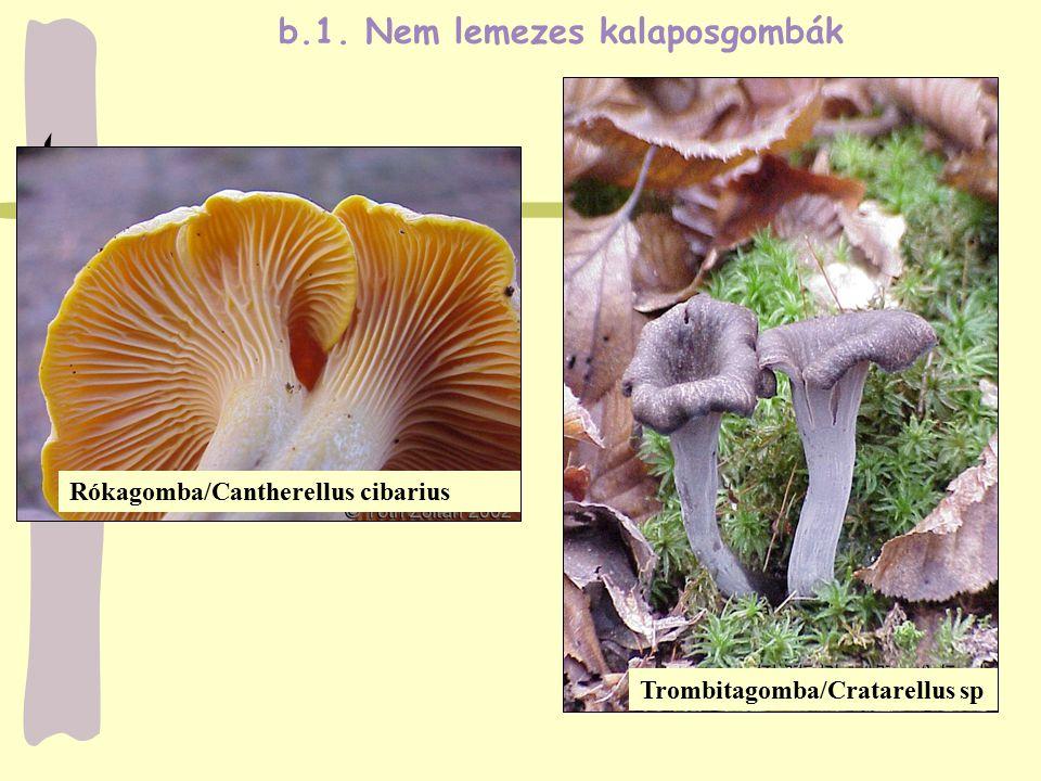 Rókagomba/Cantherellus cibarius b.1. Nem lemezes kalaposgombák Trombitagomba/Cratarellus sp