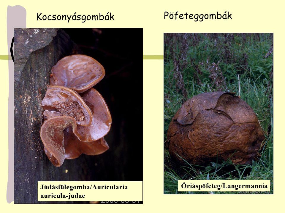 Júdásfülegomba/Auricularia auricula-judae Kocsonyásgombák Pöfeteggombák Óriáspöfeteg/Langermannia