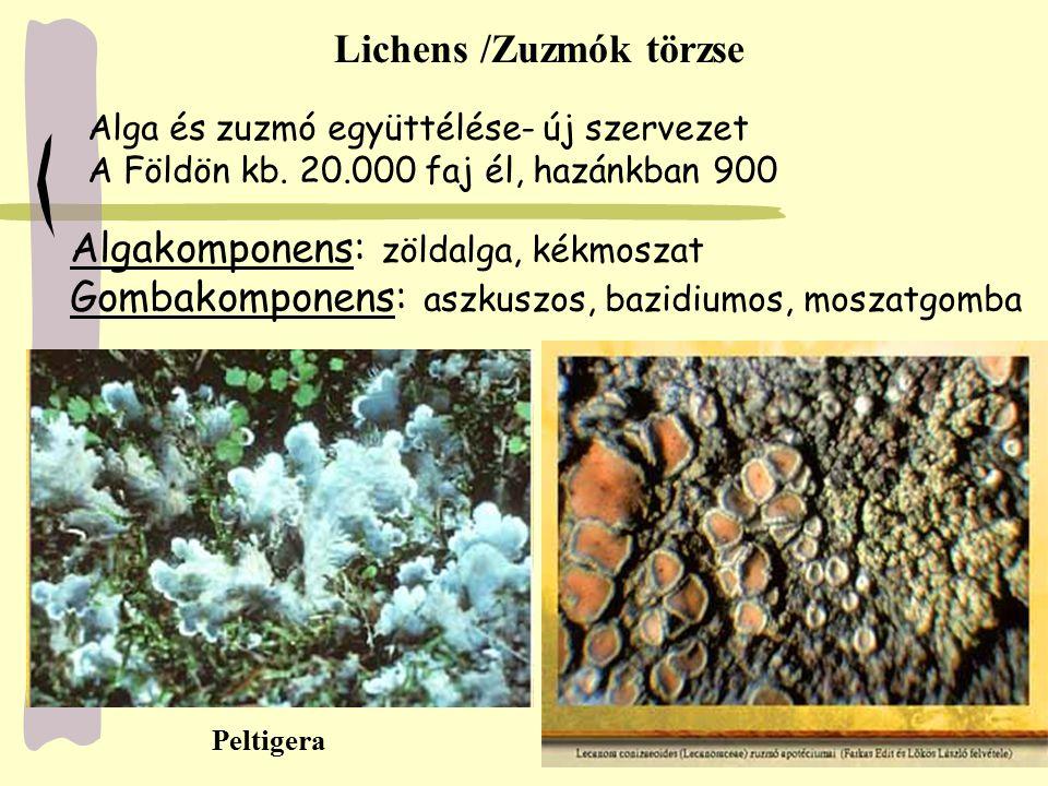 Lichens /Zuzmók törzse Alga és zuzmó együttélése- új szervezet A Földön kb. 20.000 faj él, hazánkban 900 Algakomponens: zöldalga, kékmoszat Gombakompo