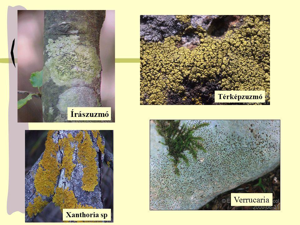 Írászuzmó Térképzuzmó Verrucaria Xanthoria sp