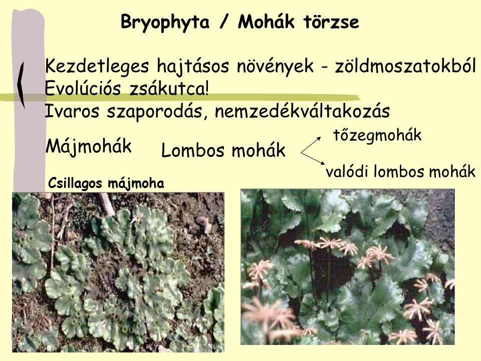 Bryophyta / Mohák törzse Kezdetleges hajtásos növények - zöldmoszatokból Evolúciós zsákutca! Ivaros szaporodás, nemzedékváltakozás Májmohák Lombos moh