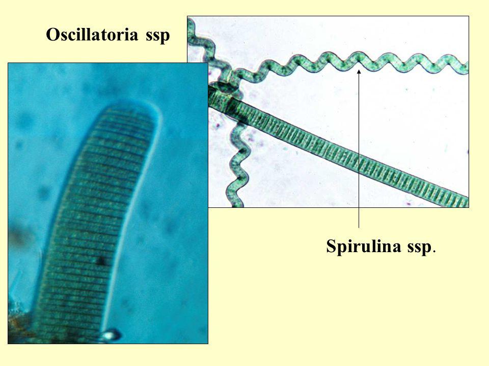 Euglenophyta/ Ostorosmoszatok Nem sorolható egyértelműen a növények vagy az állatok közé  fotoszintetizál is, de heterotróf táplálkozásra is képes Legjellemzőbb tagja a zöldszemes ostoros A törzs állati tulajdonságai: ostor sejtszáj, sejtgarat lüktető üröcske szemfolt Növényi tulajdonság: színtest  zöld színtestet tartalmazó eukariótákat kebelezte be és sejten belüli fotoszintézisre kényszerítették Euglena ssp