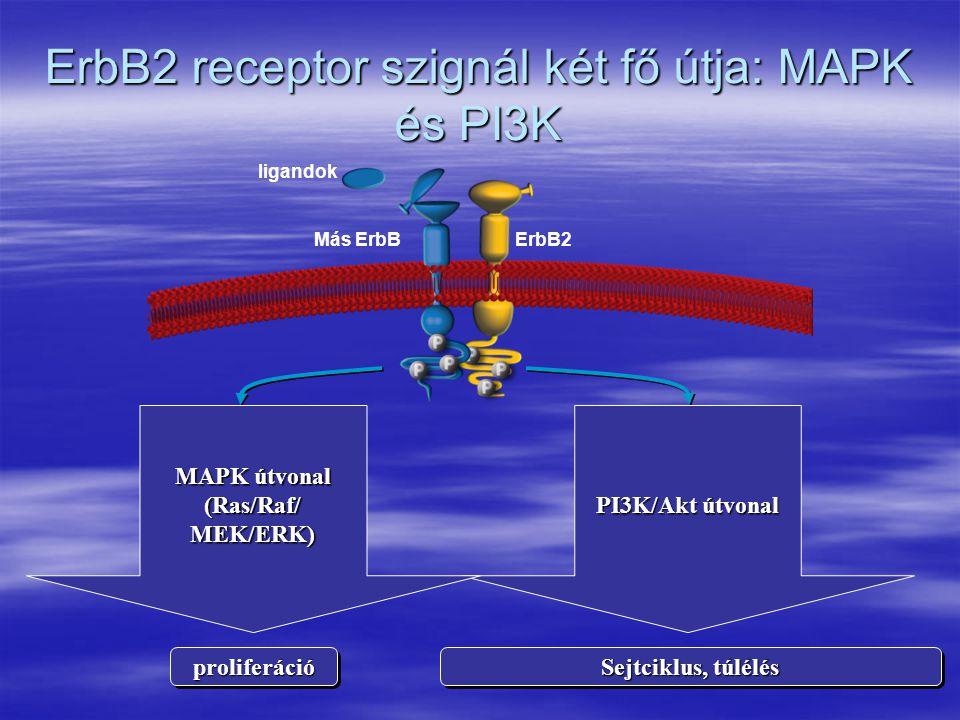 ErbB2 receptor szignál két fő útja: MAPK és PI3K ligandok ErbB2Más ErbB proliferációproliferáció Sejtciklus, túlélés PI3K/Akt útvonal MAPK útvonal (Ras/Raf/ MEK/ERK)