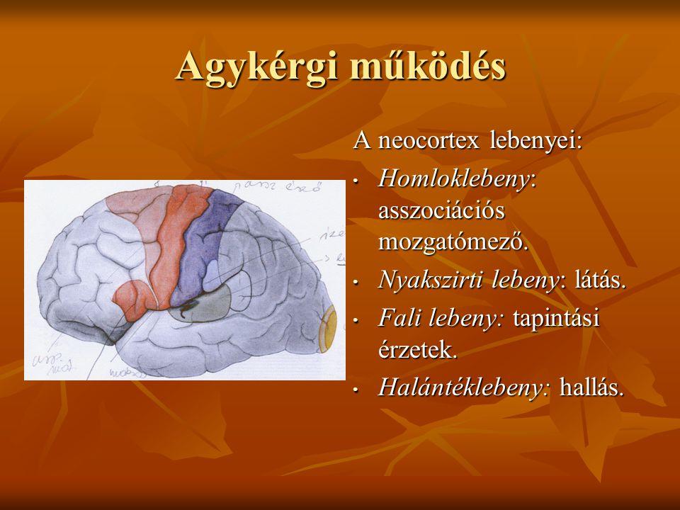 Agykérgi működés A neocortex lebenyei: Homloklebeny: asszociációs mozgatómező. Homloklebeny: asszociációs mozgatómező. Nyakszirti lebeny: látás. Nyaks