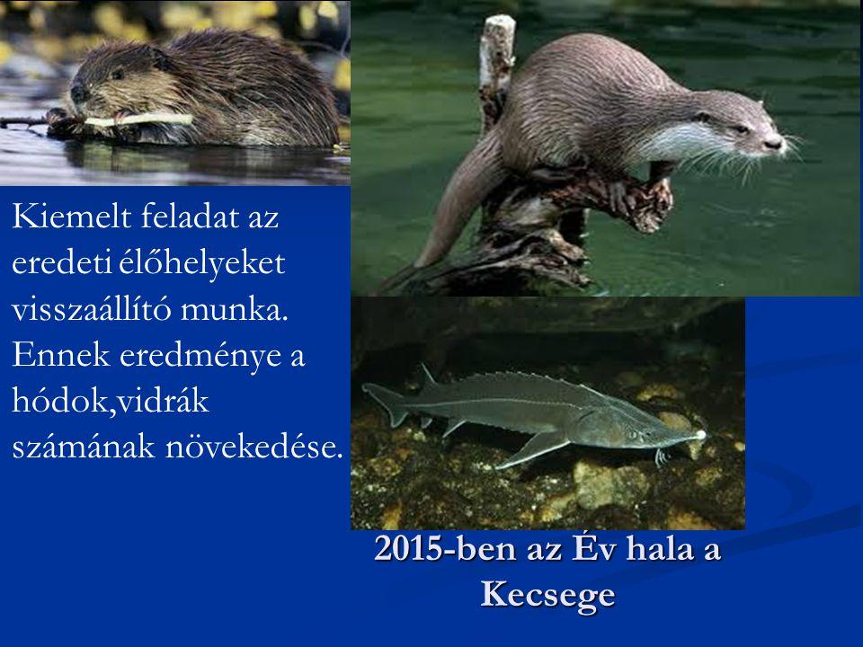 2015-ben az Év hala a Kecsege Kiemelt feladat az eredeti élőhelyeket visszaállító munka. Ennek eredménye a hódok,vidrák számának növekedése.