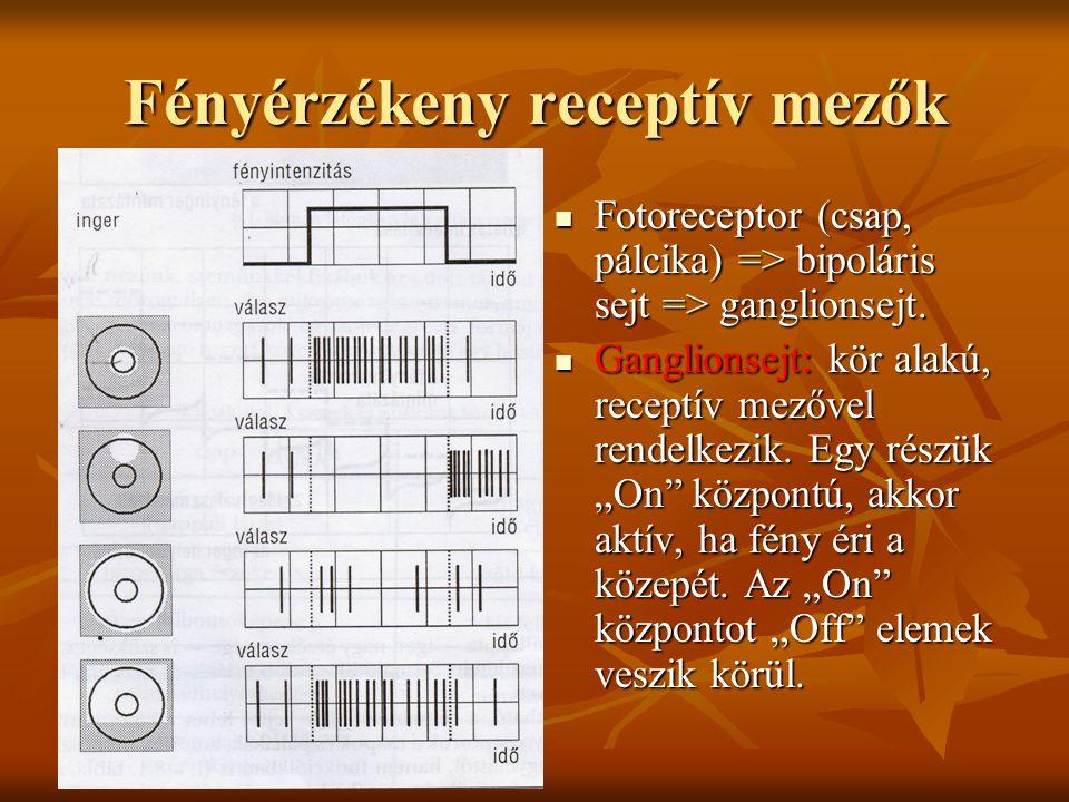 Fényérzékeny receptív mezők Fotoreceptor (csap, pálcika) => bipoláris sejt => ganglionsejt. Fotoreceptor (csap, pálcika) => bipoláris sejt => ganglion