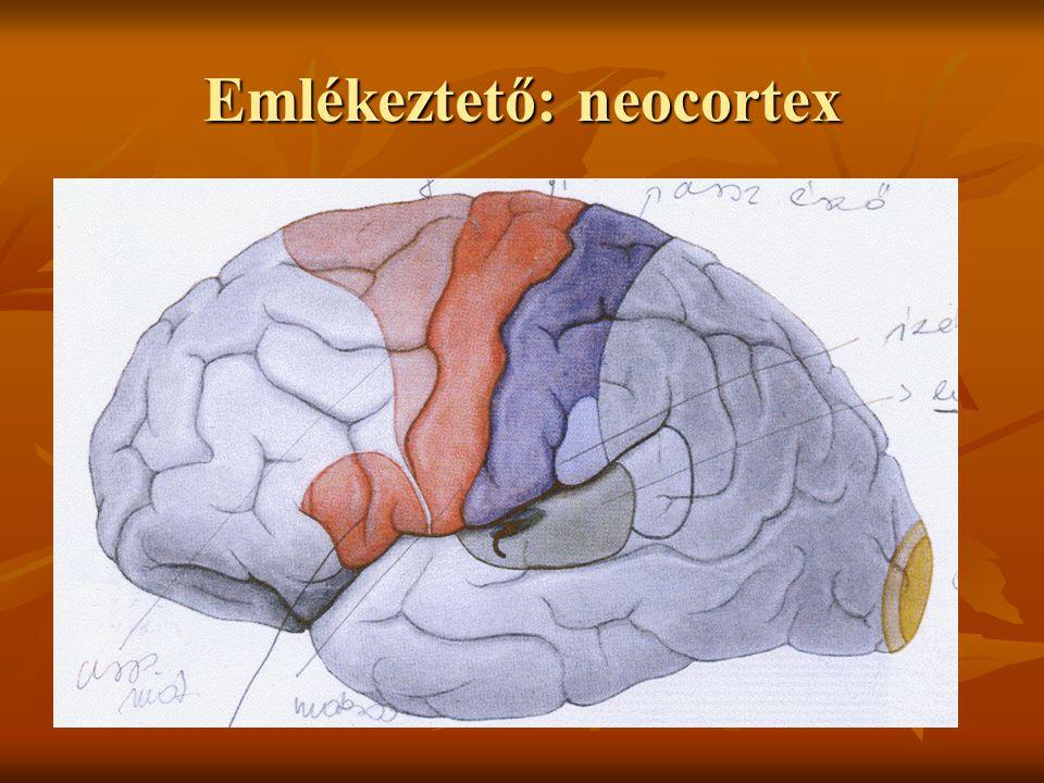 Emlékeztető: neocortex