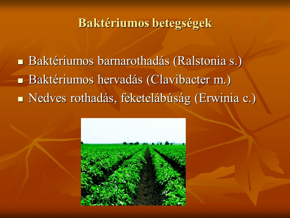 Baktériumos betegségek Baktériumos barnarothadás (Ralstonia s.) Baktériumos barnarothadás (Ralstonia s.) Baktériumos hervadás (Clavibacter m.) Baktériumos hervadás (Clavibacter m.) Nedves rothadás, feketelábúság (Erwinia c.) Nedves rothadás, feketelábúság (Erwinia c.)