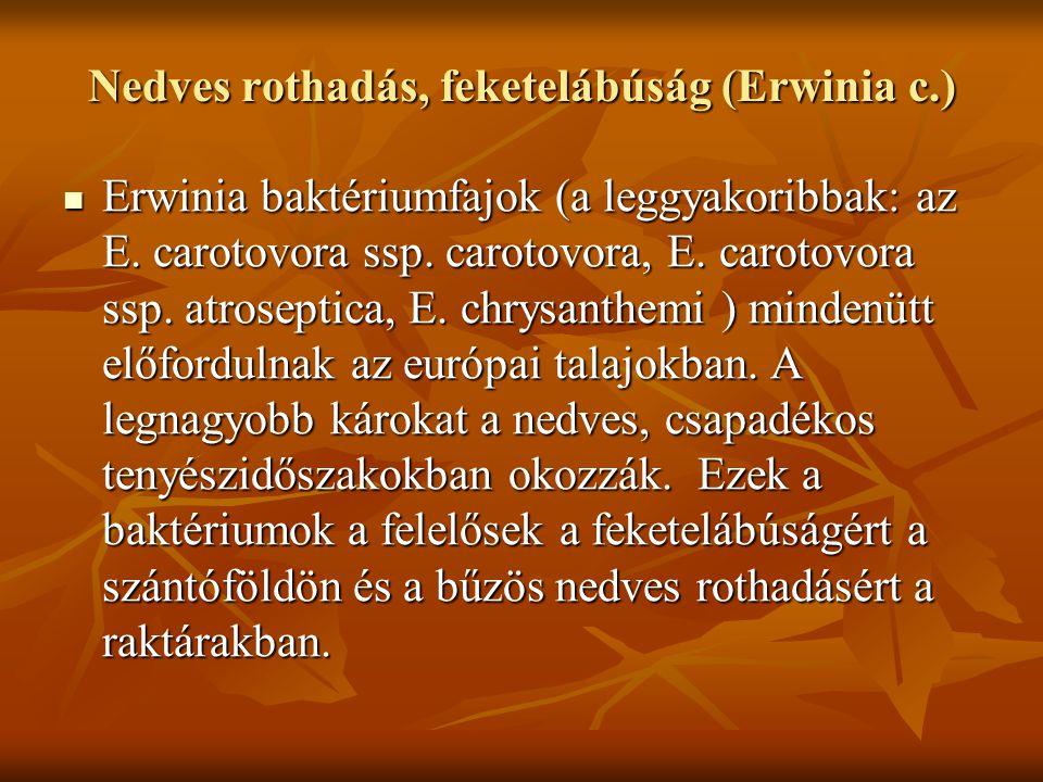 Nedves rothadás, feketelábúság (Erwinia c.) Erwinia baktériumfajok (a leggyakoribbak: az E.