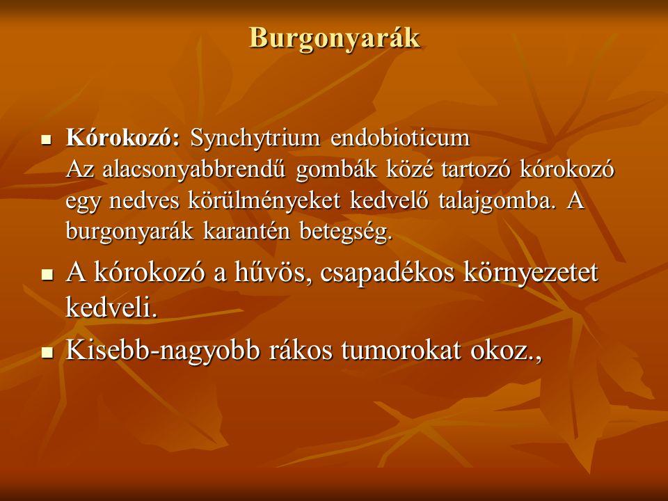 Burgonyarák Kórokozó: Synchytrium endobioticum Az alacsonyabbrendű gombák közé tartozó kórokozó egy nedves körülményeket kedvelő talajgomba.