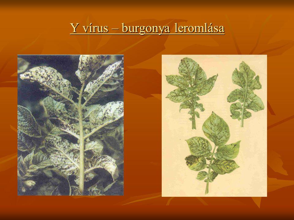 Levélsodródás vírus Nagy terméscsökkenést okoz és részben felelős a burgonya leromlásáért a szaporítás során.