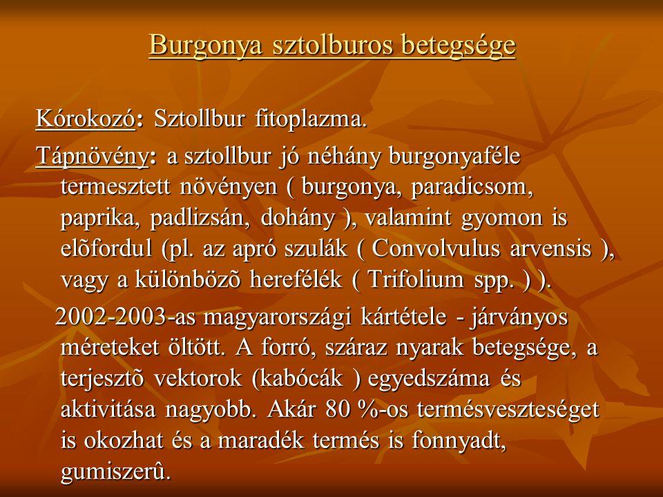Burgonya sztolburos betegsége Kórokozó: Sztollbur fitoplazma.